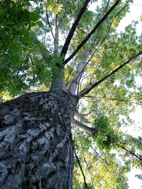 arbre sur les bords de la Charente