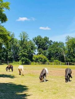 poneys au pré