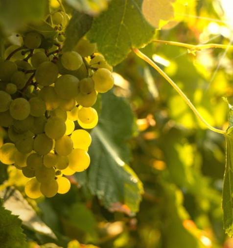 feuilles de vigne et raisin