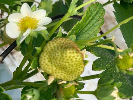 Avril 2021 : Les fraisiers sont en fleur