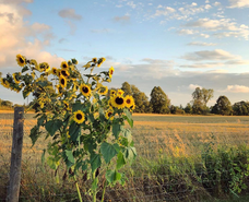Sunflowers in the Kawartha Lakes