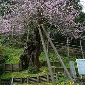 用の山の桜.jpg