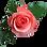 rose-png-7.png