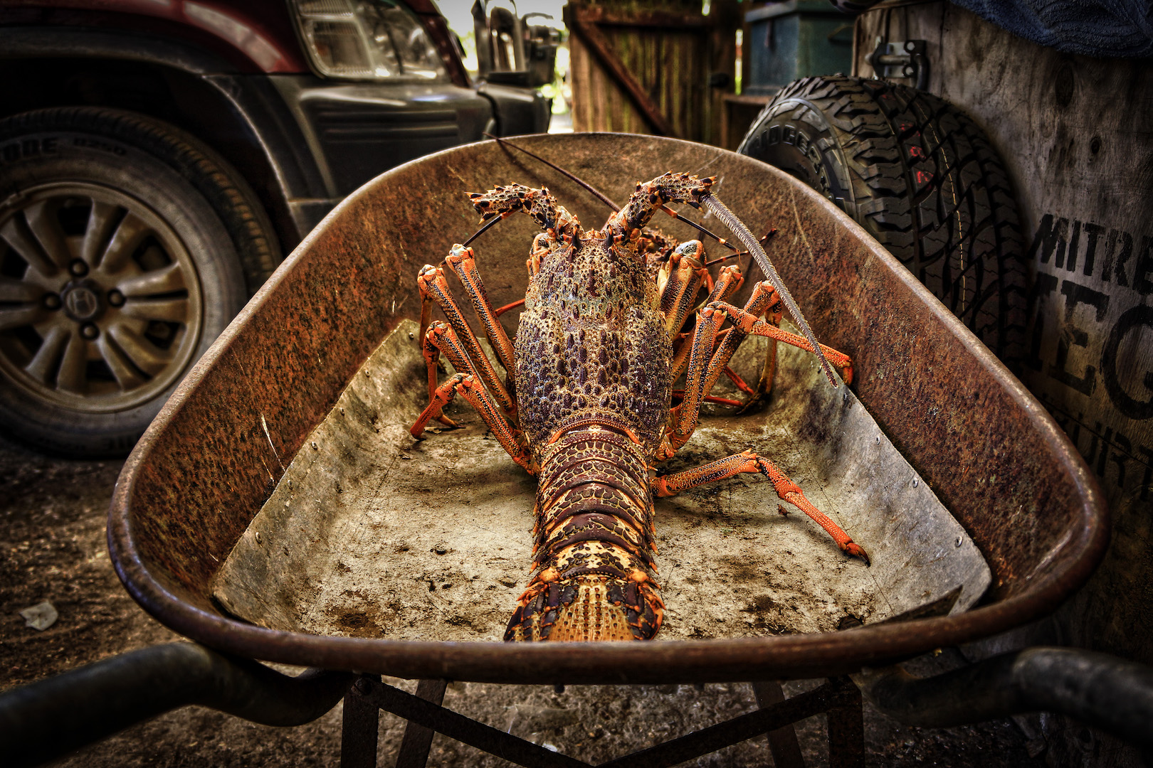 Chatham Islands Crayfish