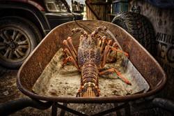 Chatham Islands Crayfish