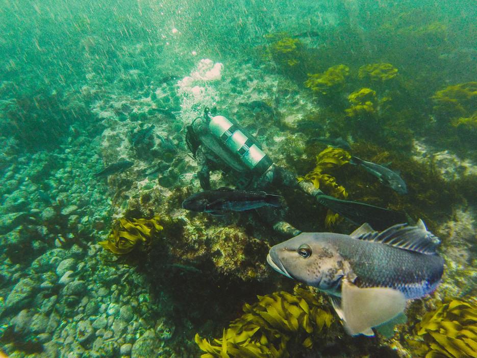 Curious Cod