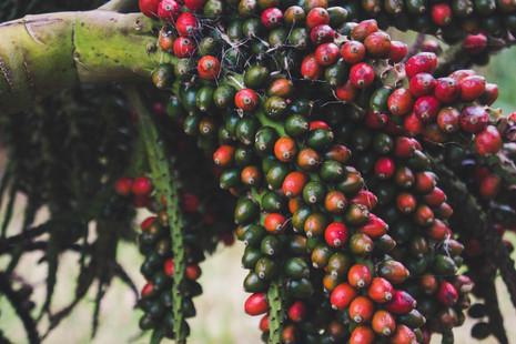 Nikau Berries