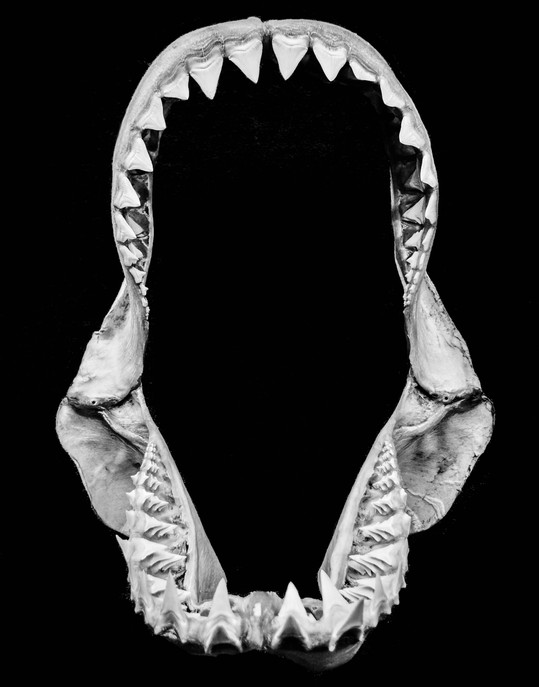 Chatham Islands Great White Shark.jpg