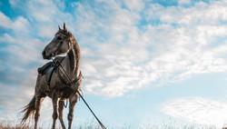 Chatham Islands Horse