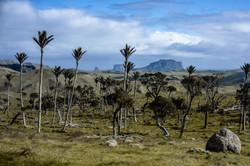 Nikau Palms Pitt Island