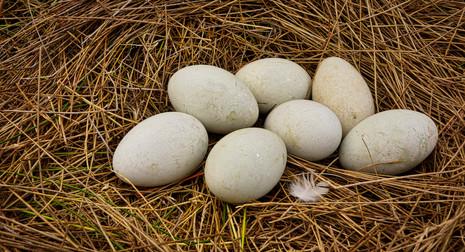 Swan Egg Nest