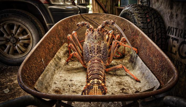 Chatham Island Crayfish.jpg