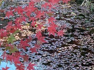 万博公園の紅葉と、太陽の塔