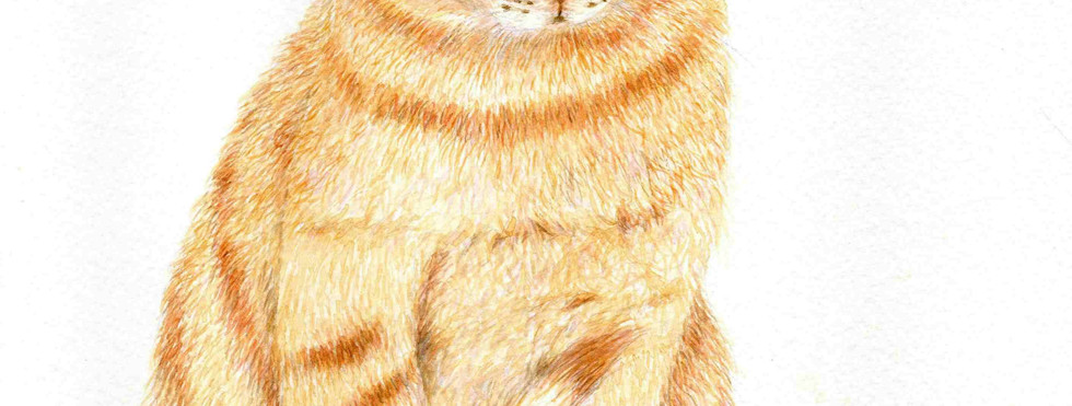 515 - A Ginger Tabby Cat