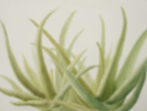 Aloe Vera, Watercolor, Nature,
