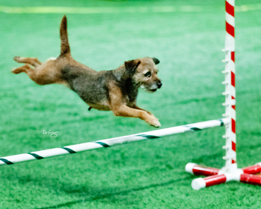 Fundamental Agility Skills for dogs and