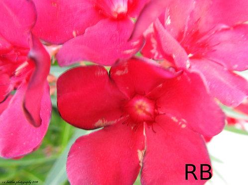 Like a Pink Buttercup II