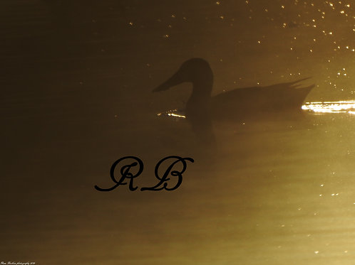 Ducks in the Mist of Morning 5