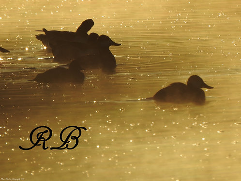 Ducks in the Mist of Morning 8