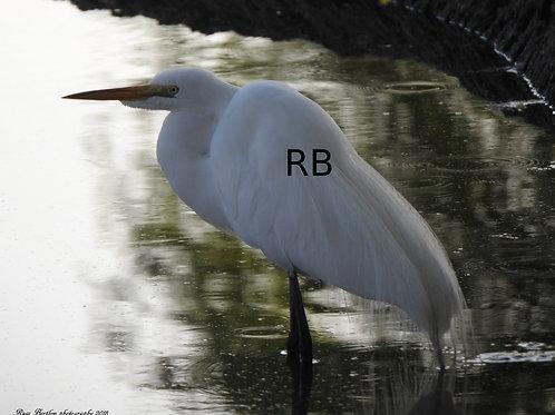 An Egret Focus