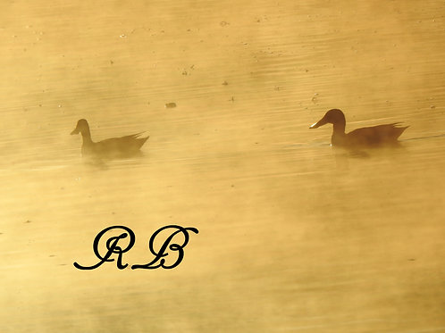 Ducks in the Mist of Morning 3