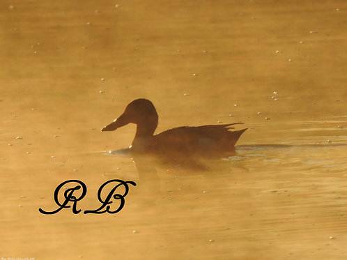 Ducks in the Mist of Morning 6