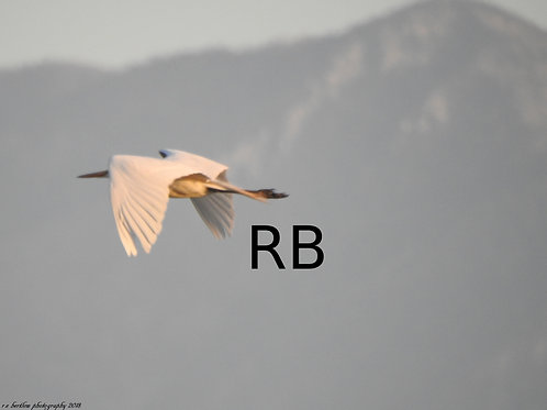 Egret on the Wind