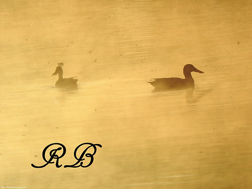 Ducks in the Mist of Morning 4