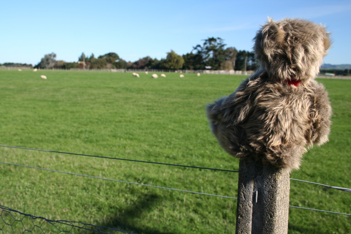 Stowie posts himself to admire New Zealand's famous sheep