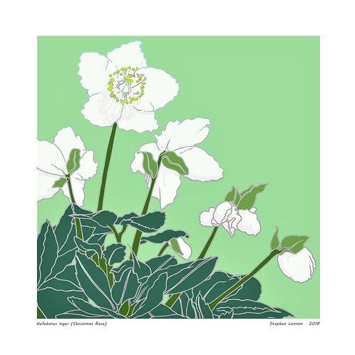 Helleborus Niger (Christmas Rose) by Stephen Lennon