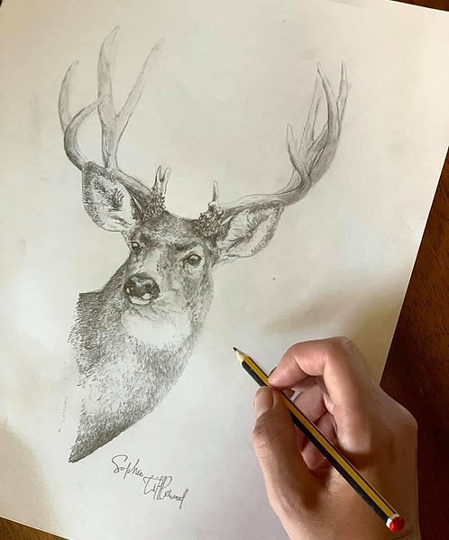 Mule Deer Pencil Study