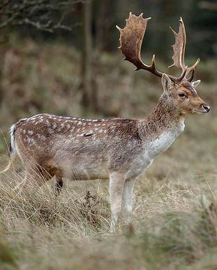 Male fallow deer at mating season.jpg