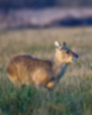 Chinese water deer standing still in a f