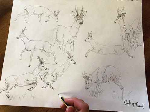 Roe Buck Studies