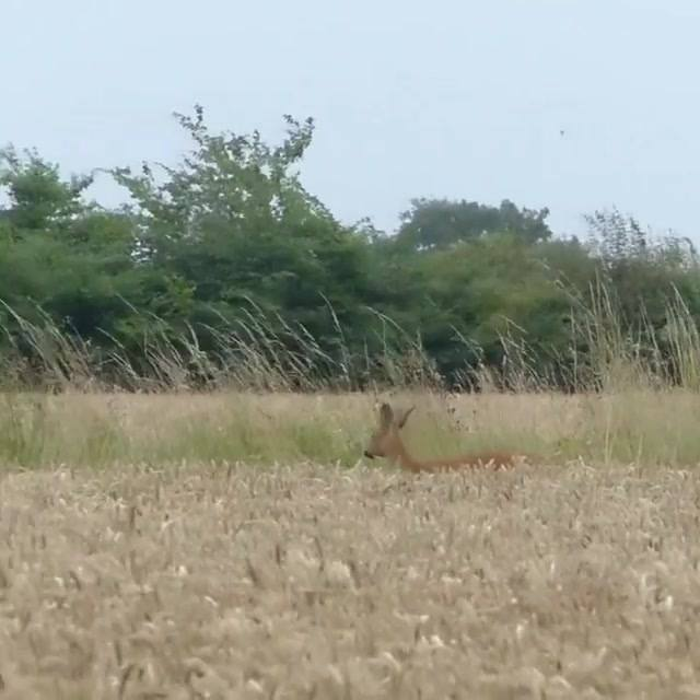 A couple of Roe I caught on camera from last year on a friends ground in Suffolk. 🦌 .