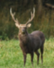 A strong sika deer stands early in the m