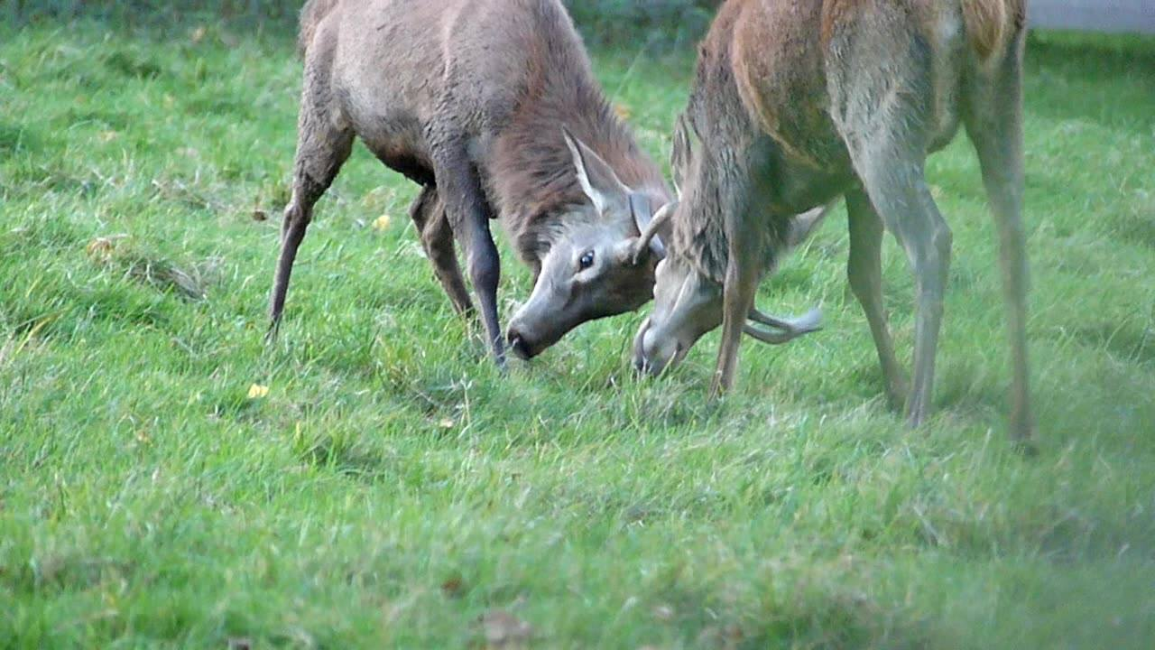 Two red spikers having a play, note the different antler shapes. 🦌