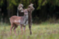 Fallow Deer stag with net  tangled antle