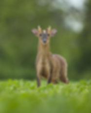 Male Muntjac deer in a field of crop