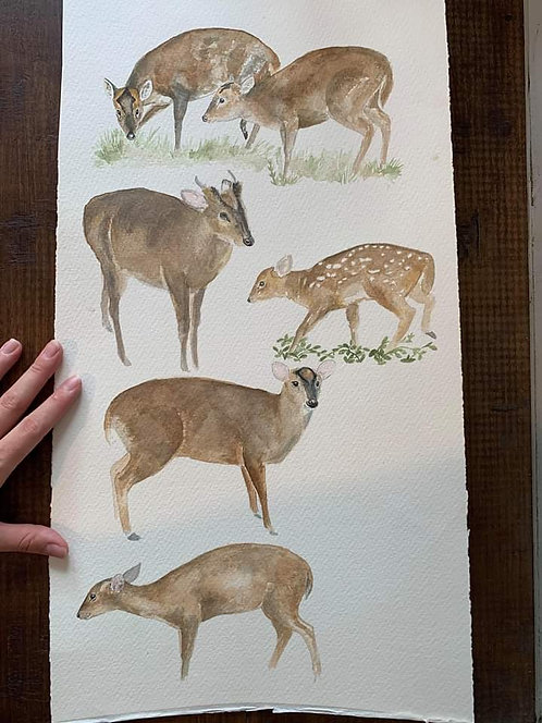 Muntjac Watercolour Study