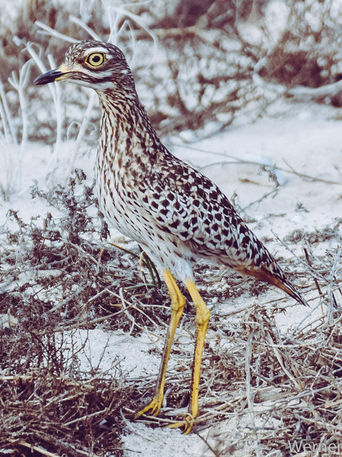"""Spotted thick-knee, also known as a """"Dikkop"""". They come to breed every year on the erf where we stayed."""