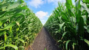 Maïs ensilage, points de vigilance et gestion de la récolte