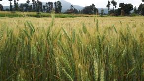 La dernière fertilisation de couverture sur céréales : quitte ou double ?