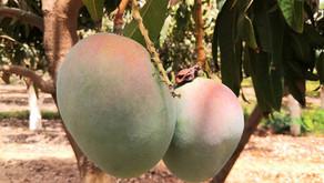 L'intelligence artificielle au service de la mangue ouest africaine