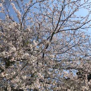 桜が舞う頃、入園式