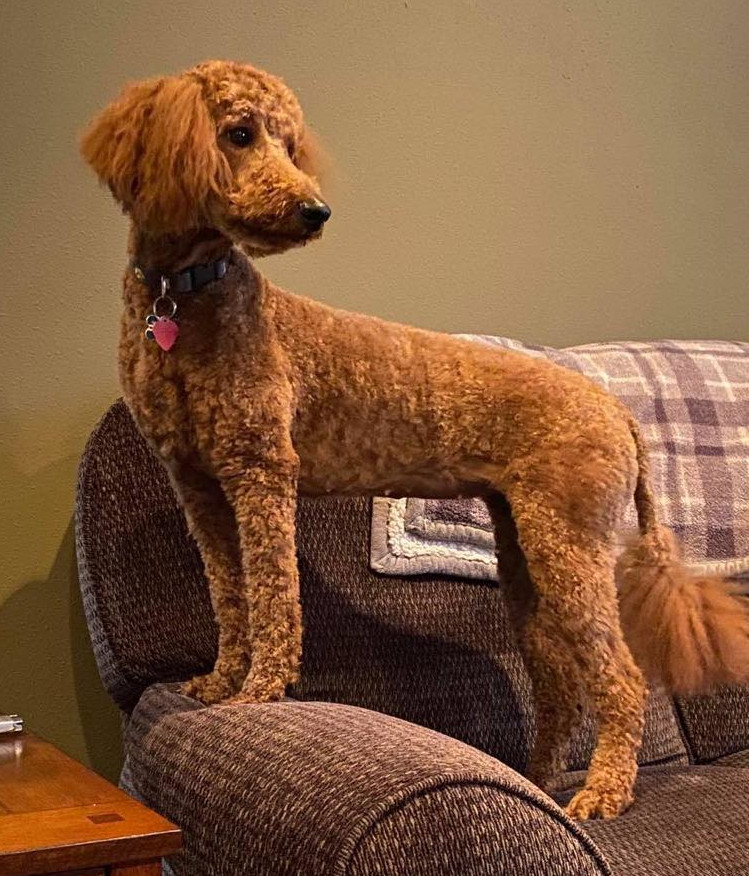 Red standard poodle with full tail - from Cedar Hill Labradoodles