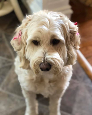 Callie - a therapy dog from Cedar Hill Labradoodles