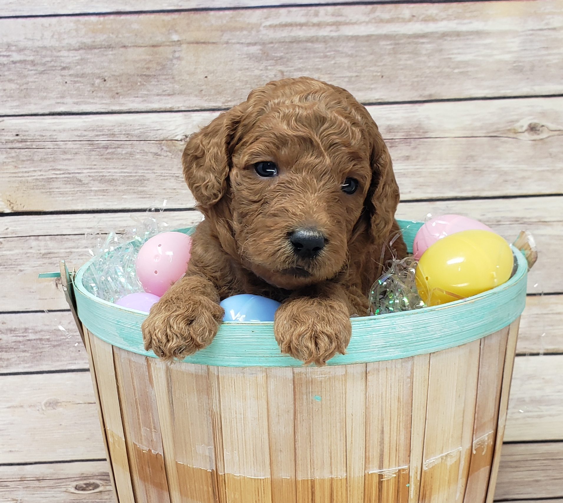 Red poodle puppy from Cedar Hill Labradoodles