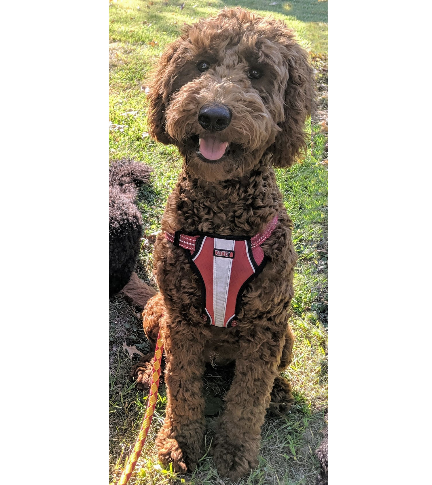 Red standard poodle puppy - looks like a doodle - Cedar Hill Labradoodles