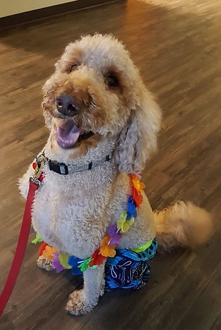 Maui - a therapy dog from Cedar Hill Labradoodles